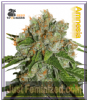 Seed Stockers Amnesia Female 5 Marijuana Seeds